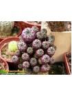 Сулькоребуция Рауша фиолетовая (Sulcorebutia rauschii f. violacidermis)