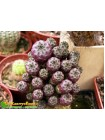 Черенок Сулькоребуция Рауша фиолетовая (Sulcorebutia rauschii f. violacidermis)