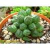 Черенок молочай гибридный (шаровидный, тучный, Euphorbia globosa x obesa)