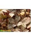 2 листовых черенка Крассула точечная (Crassula picturata)