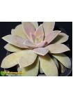 2 листовых черенка Эхеверия мясоцветная (Echeveria carnicolor)
