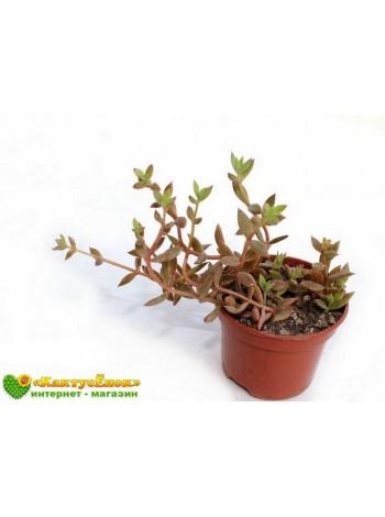 2 листовых черенка Ленофиллюм рефлексум (Lenophyllum reflexum)
