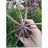Черенок крестовник крассикаулис (senecio crassicaulis)