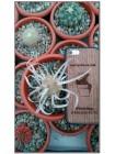 Тефрокактус артикулатус (Tephrocactus articulatus v. Papyracanthus)