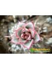 2 листовых черенка Эхеверия Фабиола (Echeveria Fabiola 8070)