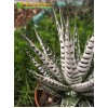 Хавортия Фасциата, культивар Альба (Haworthia Fasciata Alba)