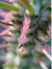 Молочай сосочковый вариегатный (Euphorbia mammillaris f. variegata 8065)