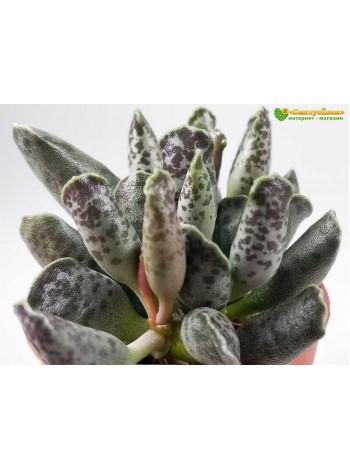 Листовой черенок Адромискус утонченный (Adromischus festivus)