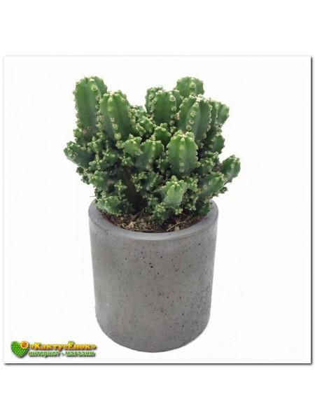 Черенок Цереус Паолина (Cereus peruvianus f. Paolina)