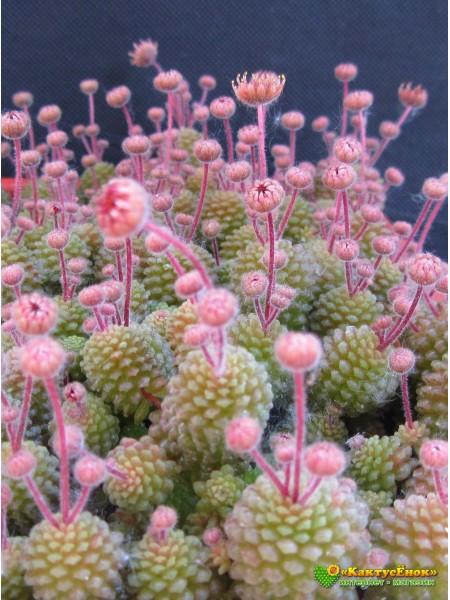 Монантес многолистный (Monanthes pollyphylla)