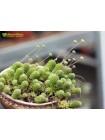 Монантес многолистный (Monanthes pollyphylla, монантес полифилла)
