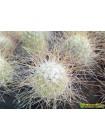 Маммиллярия Рекои (Mammillaria Rekoi)