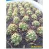 Долихотеле побегоносная (Маммиллярия суркулоза) (mammilaria (Dolichothele) surculosa)