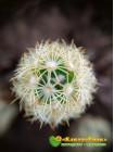 Маммиллярия удлинённая со светлой колючкой (Mammillaria elongata, Маммиллярия элонгата)
