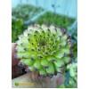 Молодило гибридное № 3 (Sempervivum, семпервивум, живучка, каменная роза)