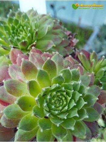 Молодило гибридное № 9 (Sempervivum, семпервивум, живучка, каменная роза)
