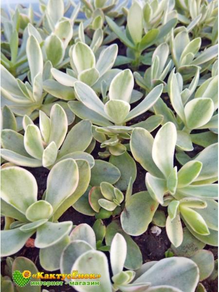 Крассула нудикаули вариегатная(Crassula nudicaule variegata)