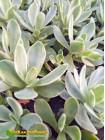 Крассула нудикаули вариегатная (Crassula nudicaule variegata, толстянка вариегатная)