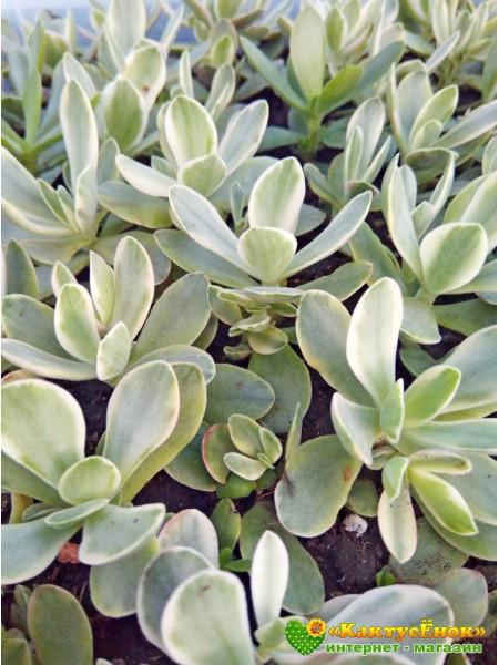 Черенок Крассула нудикаули вариегатная(Crassula nudicaule variegata)