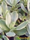 Черенок Крассула нудикаули вариегатная (Crassula nudicaule variegata, толстянка вариегатная)