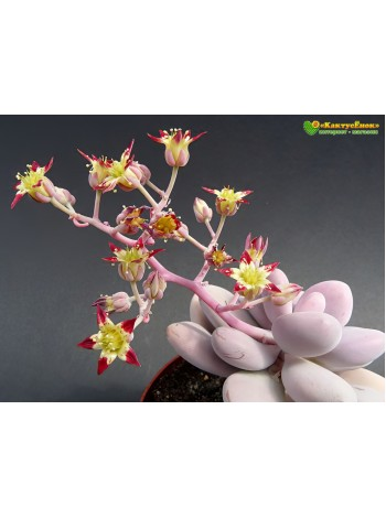 1 листовой черенок граптопеталум аметистовый (graptopetalum Amethystinum)