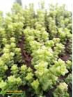 Черенок Крассула Том Тумб (crassula rupestris tom thumb)